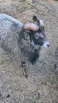 owce wrzosówki OKAZJA!!!