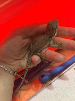 Домашняя ручная ящерица - бородатая агама продаю
