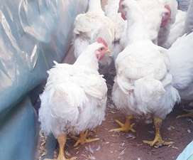 Broilers(meat chickens)for sale