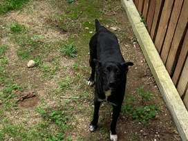 Very urgent home needed for Tasha is a Border Collie Mix Labrador