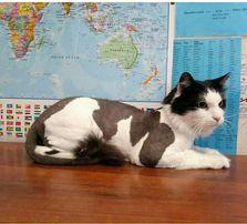 стрижка котов Груминг кошек