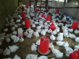 R45 Broiler Chickens in Louis Trichardt
