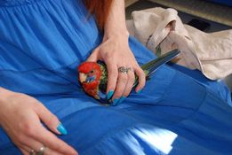 Розелла - красота и обояние в одной птичке