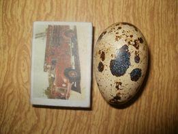 перепелиное пищевое яйцо(перепела перепелки)
