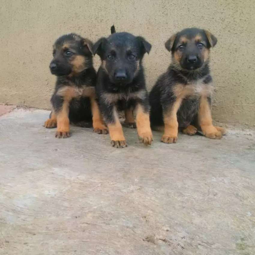 German Shepard pups for sale 0