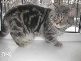 Шикарный британец приглашает кошку для вязки.