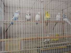 Show  budgies