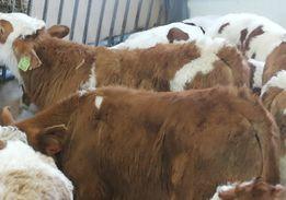 Simentale krzyżówki cielaki byczki