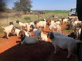 Fresh Healthy Vaccinated Boer goats and sheeps available