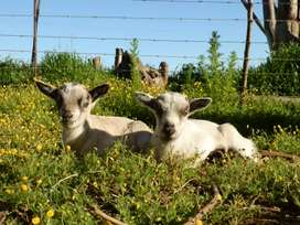 Dwarf goat kids for sale.