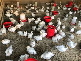 Broiler chickens for sale R38