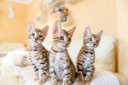 бенгалы, котята, бенгальская кошка