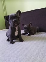 Голубые щенки