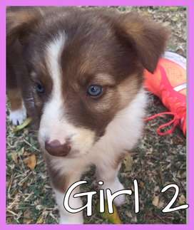 Brown and white border collie puppys