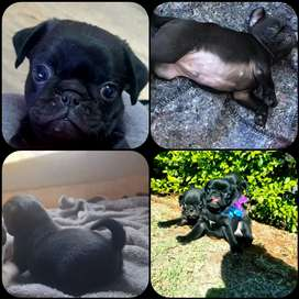 Black pug puppies =)