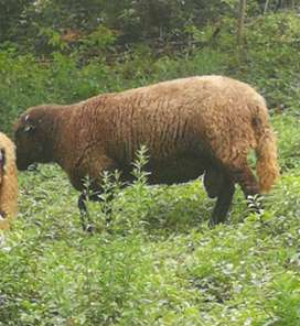 sheep ram for sale