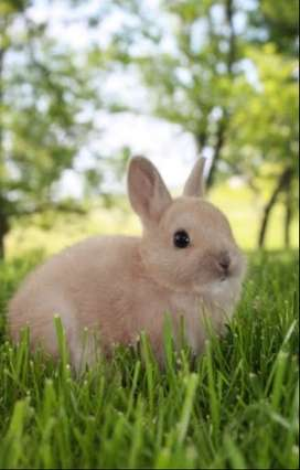 Looking for a dwarf rabbit