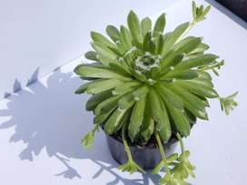 SEMPERVIVUM ARACHNOIDEUM 'COBWEB HENS AND CHICKS'