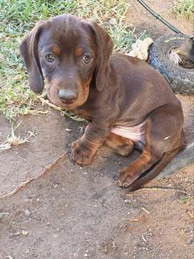 Male Chocolate Dachshund puppy for sale