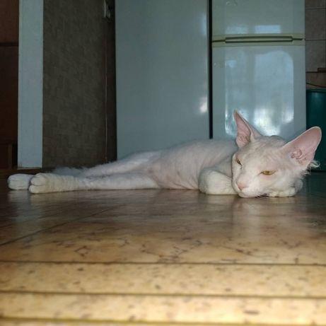 Канадский сфинкс. Ищу кошечку. Покотиловка - изображение 3