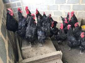 Black Australorp chicken and ducks
