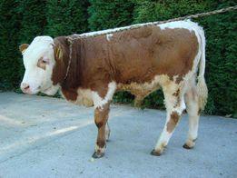 byczki miesne (odsadki)
