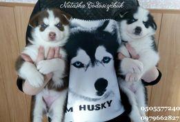 Розкішні малюки Хаски
