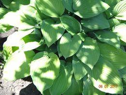 декоративное растение ХОСТА ( излишки)