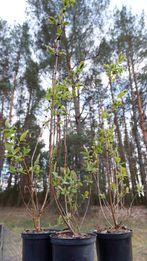 Jagoda Kamczacka sadzonki 4 odmiany licencjonowane Z KWIATAMI
