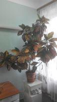 Продам очень красивое комнатное растение кротон