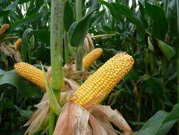 Nasiona kukurydzy MGNAT FAO 240 SAATABU NOWOŚĆ