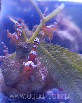 Thor amboinensis sexy shrimp krewetka sexy akwarium