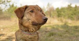 Goran niewielki rudy psiak szuka domu...