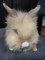 Львиногологоловый кролик-настоящий маленький лев