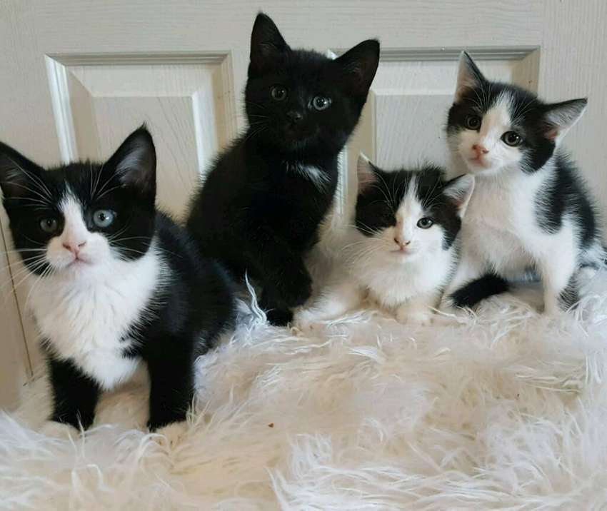 Adorable hand raised healthy and playful kittens. See pics. 0
