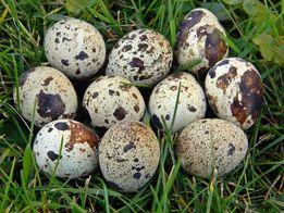 wiejskie jaja jajka przepiórek przepiórcze 19zł/1kg Białystok