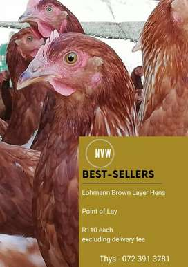 Lohmann brown layer hens