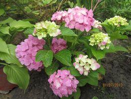 Гортензия крупноцветковая садовая