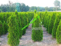 Thuja smaragd 140-160cm balot Dostawa gratis FV Tuja szmaragd 160cm