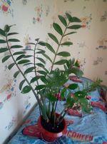 """Замиокулькас """" доларовое дерево"""