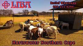 Sheep and goats and cattle for sale