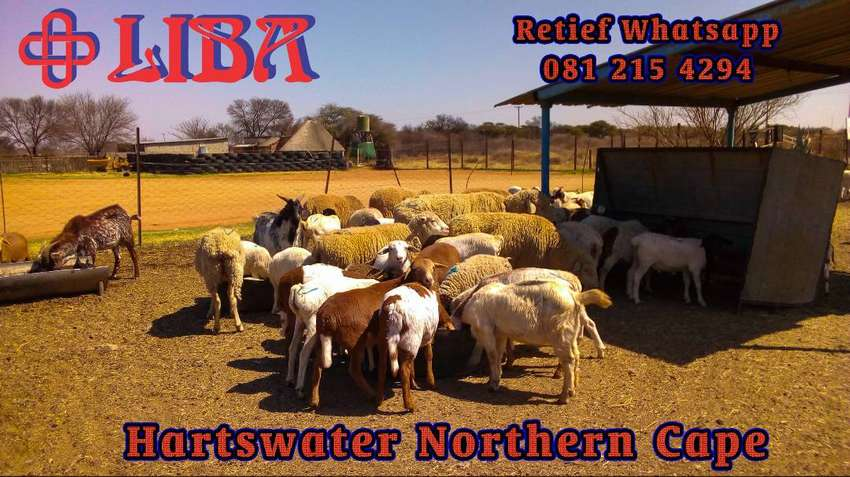 Sheep and goats and cattle for sale 0