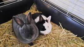 2 Dwarf Bunnies with large cage for sale.