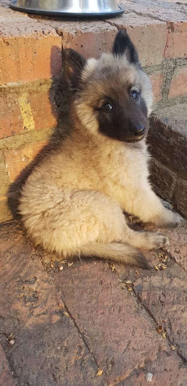 Belgian Shepherd puppies ready for a new home 0
