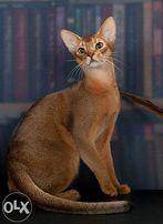 Абиссинский кот дикого окраса открыт для вязок