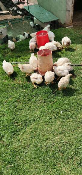 Free-range broiler chickens for sale