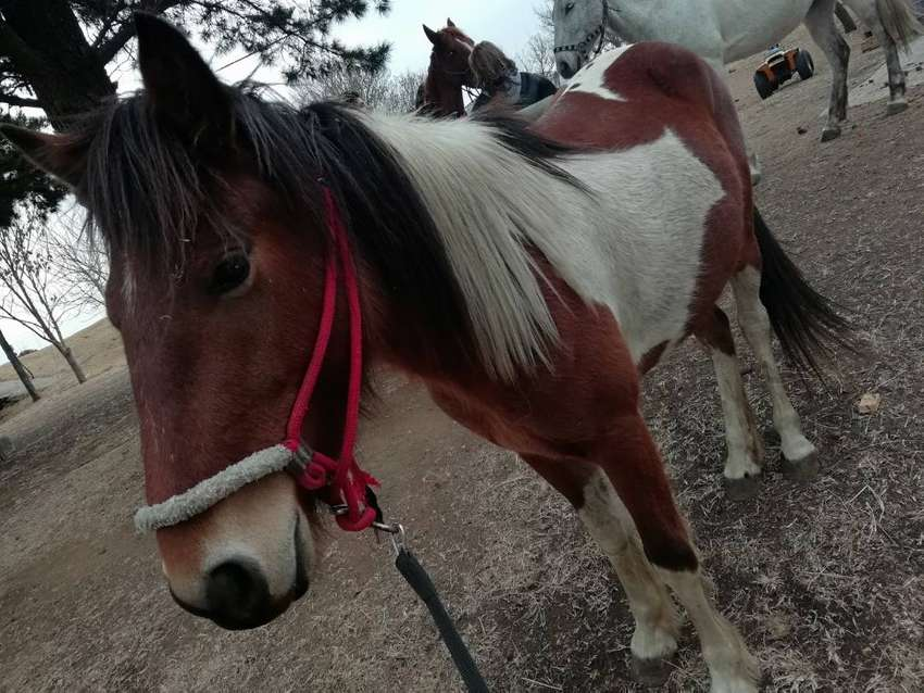 Pinto Horse for sale! 0