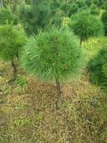 sosna czarna bonsai kula tuja szmaragd