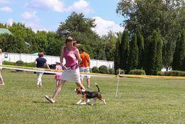 Хендлер - подготовка собаки к выставке