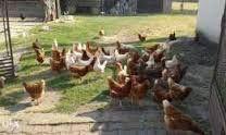 Jajka swojskie. Świeże. Kury, z wolnego wybiegu.. 70groszy sztuka. Dow